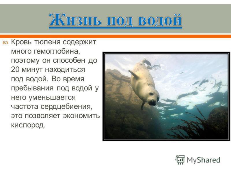 Кровь тюленя содержит много гемоглобина, поэтому он способен до 20 минут находиться под водой. Во время пребывания под водой у него уменьшается частота сердцебиения, это позволяет экономить кислород.