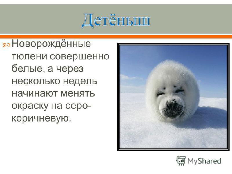 Новорождённые тюлени совершенно белые, а через несколько недель начинают менять окраску на серо - коричневую.