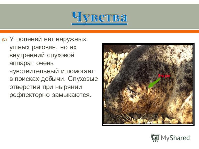 У тюленей нет наружных ушных раковин, но их внутренний слуховой аппарат очень чувствительный и помогает в поисках добычи. Слуховые отверстия при нырянии рефлекторно замыкаются.