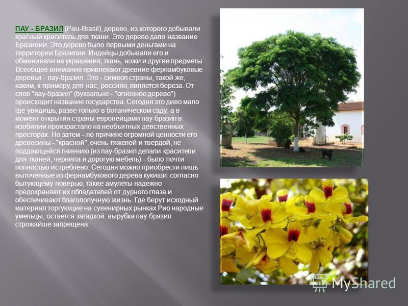 ПАУ - БРАЗИЛ (Pau-Brasil), дерево, из которого добывали красный краситель для ткани. Это дерево дало название Бразилии. Это дерево было первыми деньгами на территории Бразилии. Индейцы добывали его и обменивали на украшения, ткань, ножи и другие пред