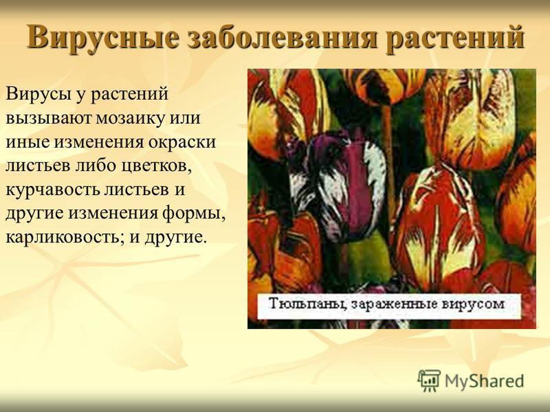 Вирусные заболевания растений Вирусы у растений вызывают мозаику или иные изменения окраски листьев либо цветков, курчавость листьев и другие изменения формы, карликовость; и другие.