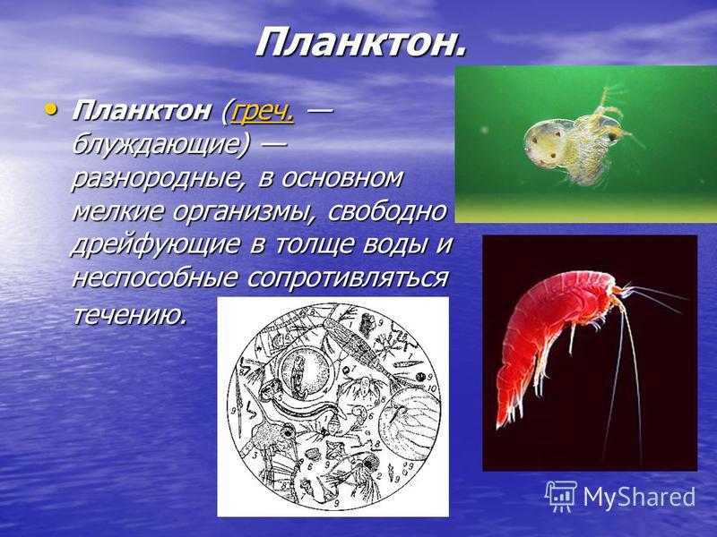 Планктон. Планктон (греч. блуждающие) разнородные, в основном мелкие организмы, свободно дрейфующие в толще воды и неспособные сопротивляться течению. Планктон (греч. блуждающие) разнородные, в основном мелкие организмы, свободно дрейфующие в толще в