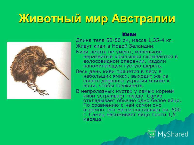 Животный мир Австралии Киви Длина тела 50-80 см, масса 1,35-4 кг. Живут киви в Новой Зеландии. Киви летать не умеют, маленькие неразвитые крылышки скрываются в волосовидном оперении, издали напоминающем густую шерсть. Весь день киви прячется в лесу в