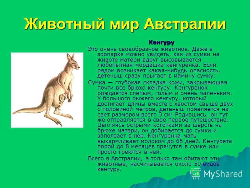 Животный мир Австралии Кенгуру Это очень своеобразное животное. Даже в зоопарке можно увидеть, как из сумки на животе матери вдруг высовывается любопытная мордашка кенгуренка. Если рядом возникает какая-нибудь опасность, детеныш сразу прыгает в мамин