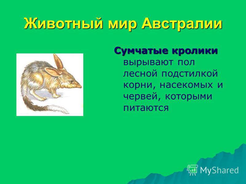 Животный мир Австралии Сумчатые кролики Сумчатые кролики вырывают пол лесной подстилкой корни, насекомых и червей, которыми питаются