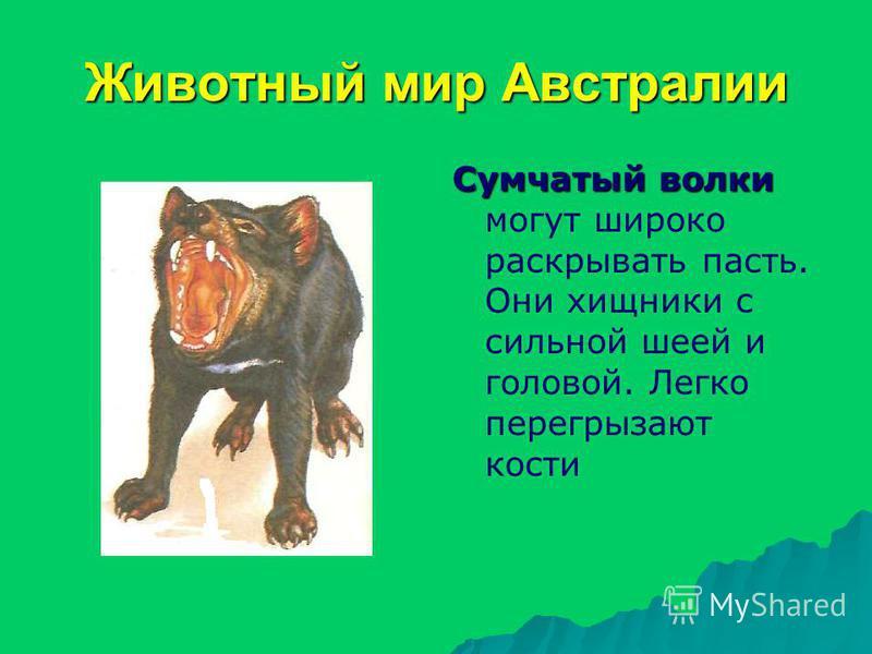 Животный мир Австралии Сумчатый волки Сумчатый волки могут широко раскрывать пасть. Они хищники с сильной шеей и головой. Легко перегрызают кости