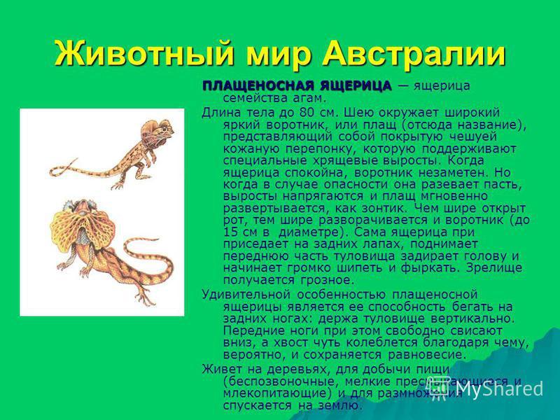 ПЛАЩЕНОСНАЯ ЯЩЕРИЦА ПЛАЩЕНОСНАЯ ЯЩЕРИЦА ящерица семейства агам. Длина тела до 80 см. Шею окружает широкий яркий воротник, или плащ (отсюда название), представляющий собой покрытую чешуей кожаную перепонку, которую поддерживают специальные хрящевые вы