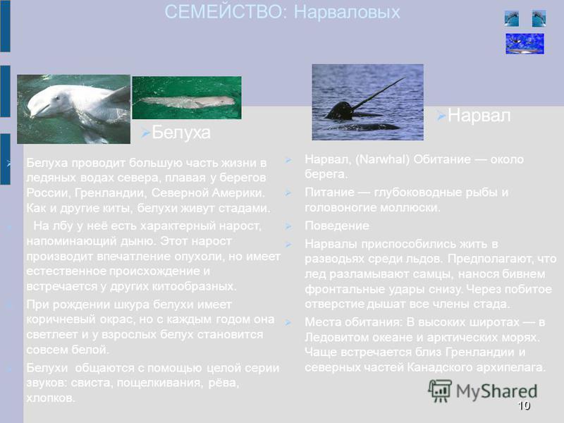 СЕМЕЙСТВО: Нарваловых Белуха проводит большую часть жизни в ледяных водах севера, плавая у берегов России, Гренландии, Северной Америки. Как и другие киты, белухи живут стадами. На лбу у неё есть характерный нарост, напоминающий дыню. Этот нарост про