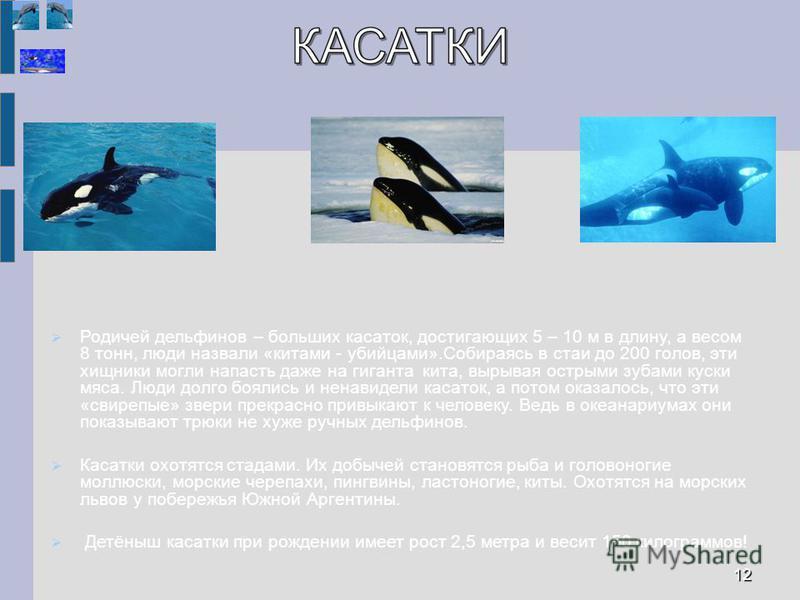 Родичей дельфинов – больших касаток, достигающих 5 – 10 м в длину, а весом 8 тонн, люди назвали «китами - убийцами».Собираясь в стаи до 200 голов, эти хищники могли напасть даже на гиганта кита, вырывая острыми зубами куски мяса. Люди долго боялись и