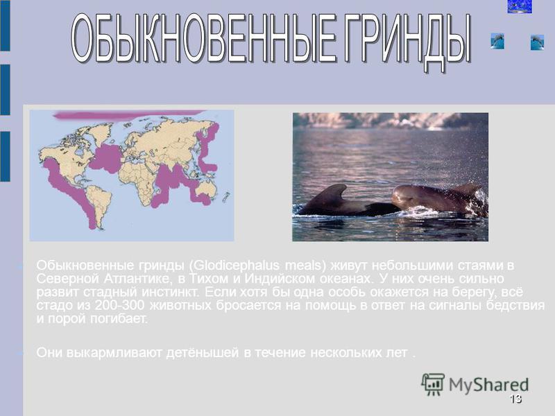 Обыкновенные гринды (Glodicephalus meals) живут небольшими стаями в Северной Атлантике, в Тихом и Индийском океанах. У них очень сильно развит стадный инстинкт. Если хотя бы одна особь окажется на берегу, всё стадо из 200-300 животных бросается на по