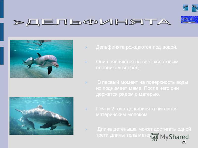 Дельфинята рождаются под водой. Они появляются на свет хвостовым плавником вперёд. В первый момент на поверхность воды их поднимает мама. После чего они держатся рядом с матерью. Почти 2 года дельфинята питаются материнским молоком. Длина детёныша мо