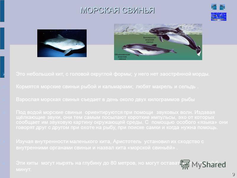 МОРСКАЯ СВИНЬЯ Это небольшой кит, с головой округлой формы; у него нет заострённой морды. Кормятся морские свиньи рыбой и кальмарами; любят макрель и сельдь. Взрослая морская свинья съедает в день около двух килограммов рыбы Под водой морские свиньи