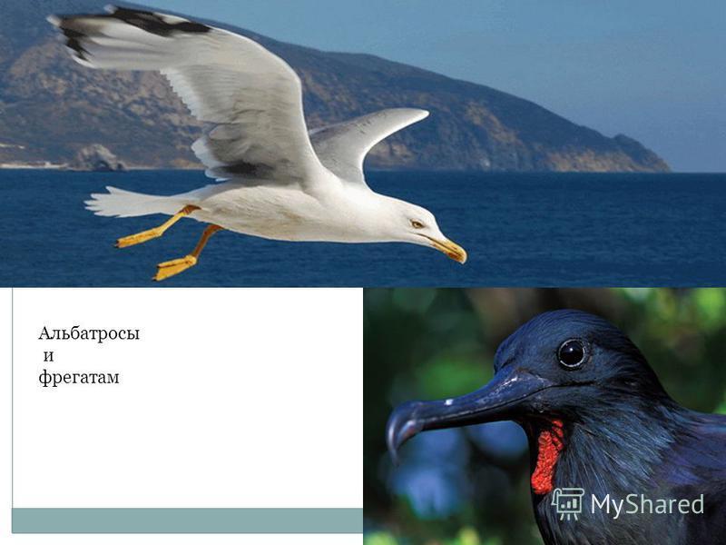 Альбатросы и фрегатам