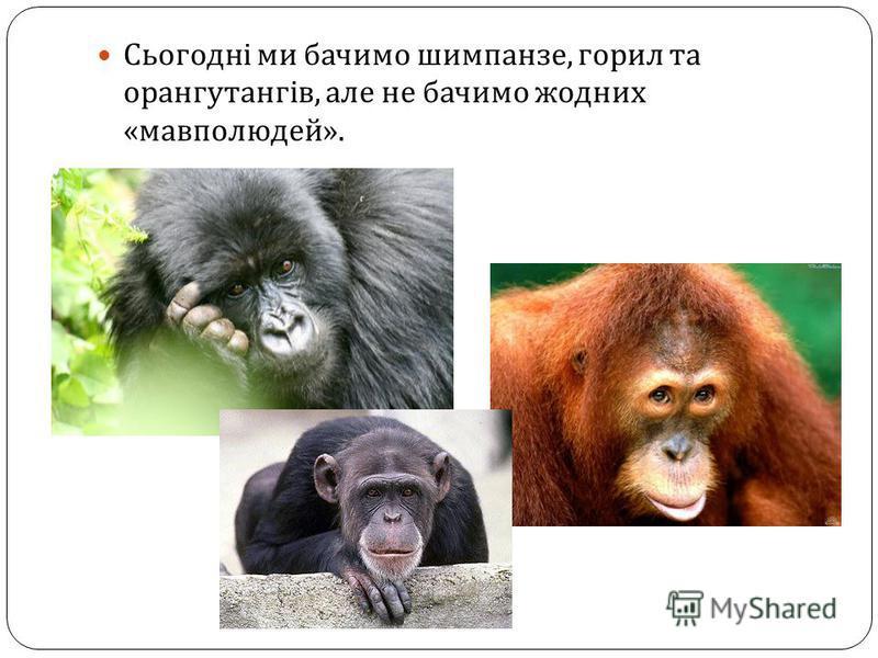 Сьогодні ми бачимо шимпанзе, горил та орангутангів, але не бачимо жодних « мавполюдей ».