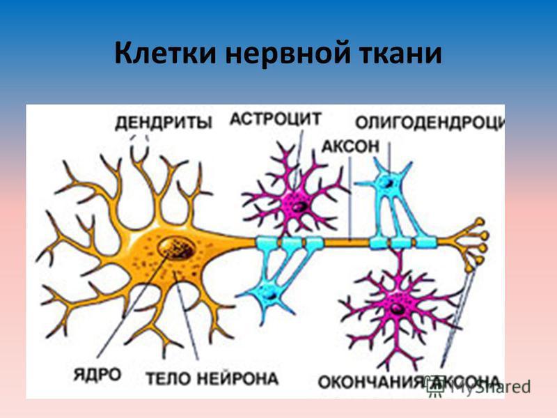 Клетки нервной ткани