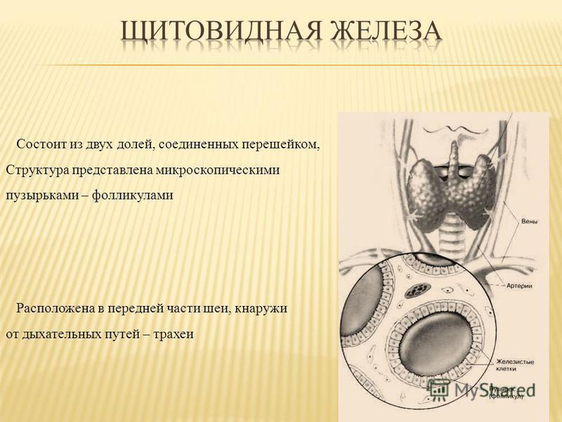 Состоит из двух долей, соединенных перешейком, Структура представлена микроскопическими пузырьками – фолликулами Расположена в передней части шеи, кнаружи от дыхательных путей – трахеи