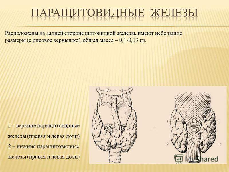 Расположены на задней стороне щитовидной железы, имеют небольшие размеры (с рисовое зернышко), общая масса – 0,1-0,13 гр. 1 – верхние паращитовидные железы (правая и левая доли) 2 – нижние паращитовидные железы (правая и левая доли)