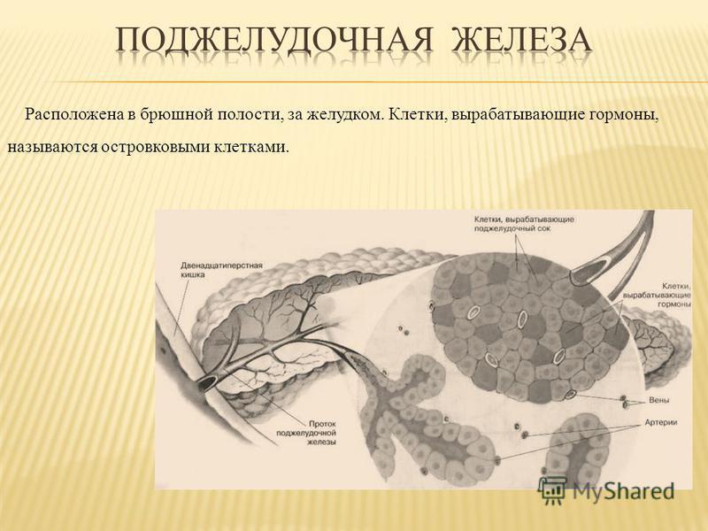 Расположена в брюшной полости, за желудком. Клетки, вырабатывающие гормоны, называются островковыми клетками.