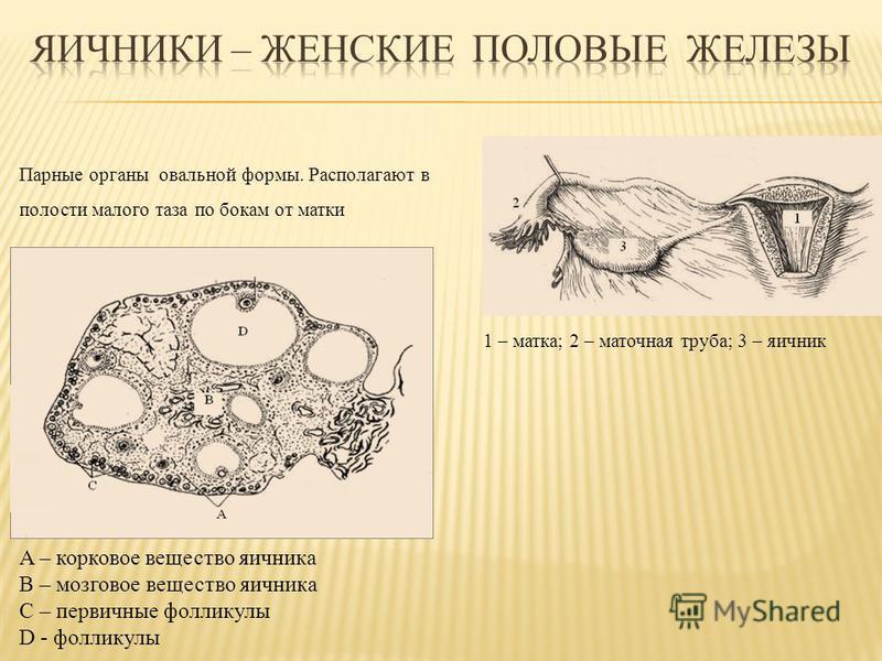 1 – матка; 2 – маточная труба; 3 – яичник Парные органы овальной формы. Располагают в полости малого таза по бокам от матки A – корковое вещество яичника B – мозговое вещество яичника C – первичные фолликулы D - фолликулы