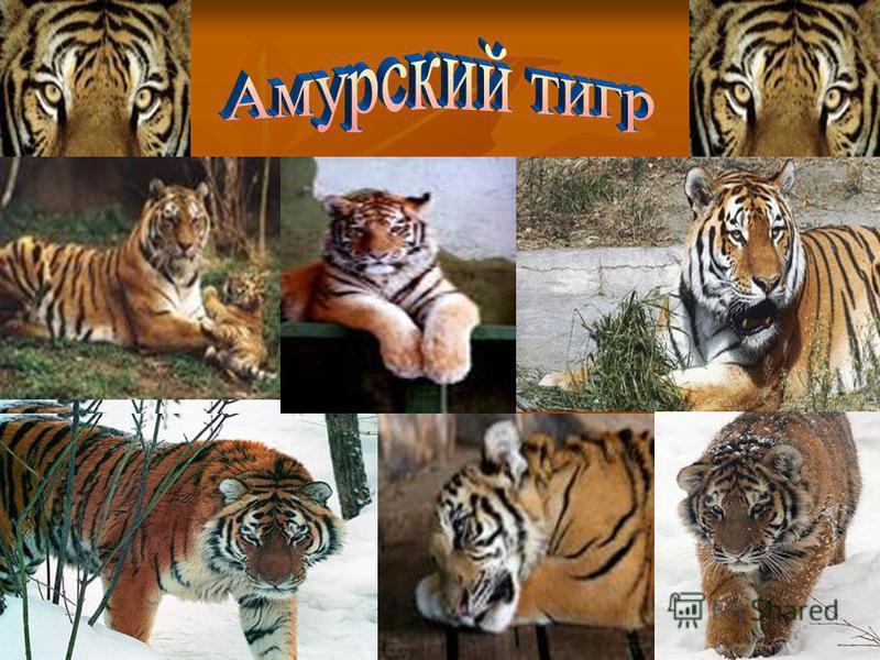 Saber Tooth Tiger Facts | Behavior, Habitat, Diet, Extinction, Species