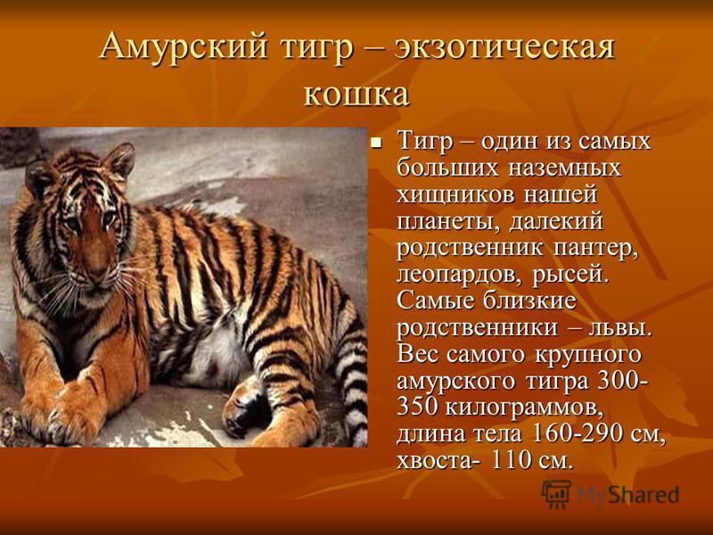 Амурский тигр – экзотическая кошка Тигр – один из самых больших наземных хищников нашей планеты, далекий родственник пантер, леопардов, рысей. Самые близкие родственники – львы. Вес самого крупного амурского тигра 300- 350 килограммов, длина тела 160
