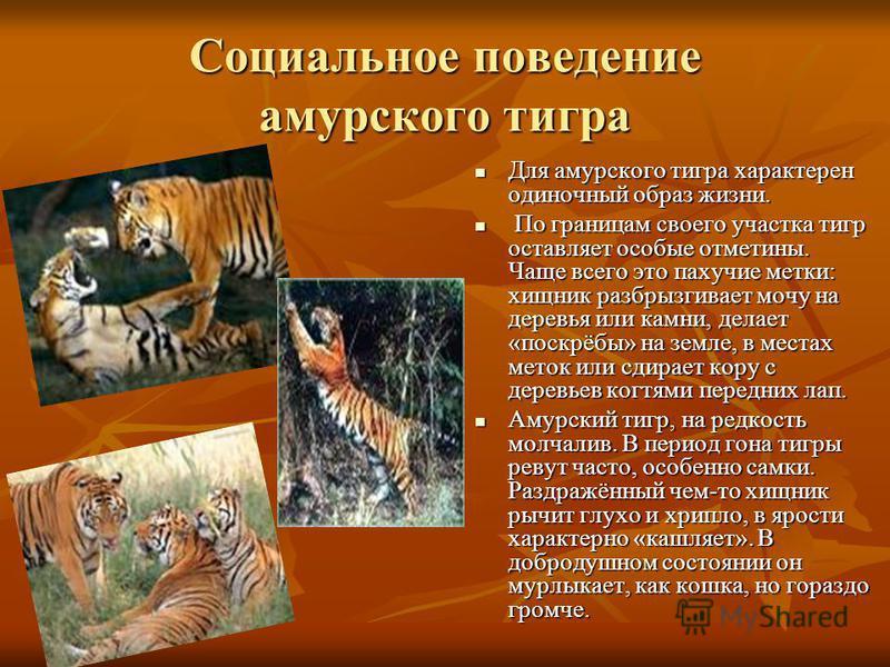 Социальное поведение амурского тигра Для амурского тигра характерен одиночный образ жизни. Для амурского тигра характерен одиночный образ жизни. По границам своего участка тигр оставляет особые отметины. Чаще всего это пахучие метки: хищник разбрызги