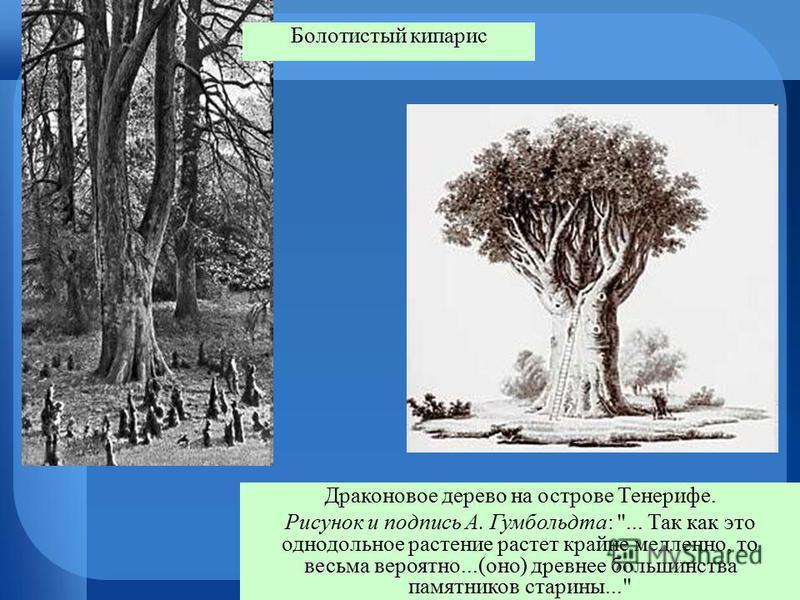 Драконовое дерево на острове Тенерифе. Рисунок и подпись А. Гумбольдта: ... Так как это однодольное растение растет крайне медленно, то весьма вероятно...(оно) древнее большинства памятников старины... Болотистый кипарис