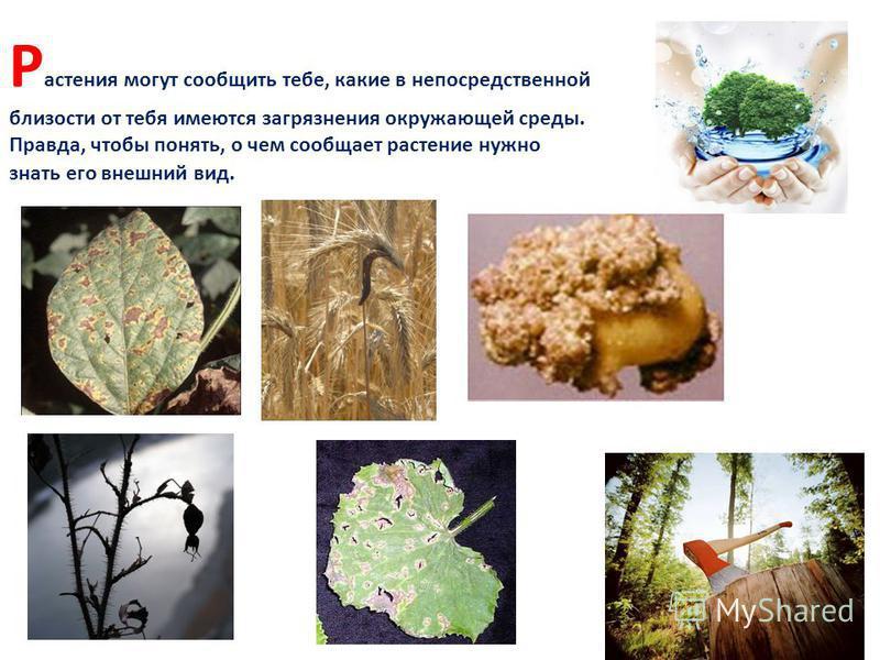 Р астения могут сообщить тебе, какие в непосредственной близости от тебя имеются загрязнения окружающей среды. Правда, чтобы понять, о чем сообщает растение нужно знать его внешний вид.