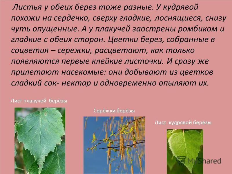 Листья у обеих берез тоже разные. У кудрявой похожи на сердечко, сверху гладкие, лоснящиеся, снизу чуть опущенные. А у плакучей заострены ромбиком и гладкие с обеих сторон. Цветки берез, собранные в соцветия – сережки, расцветают, как только появляют