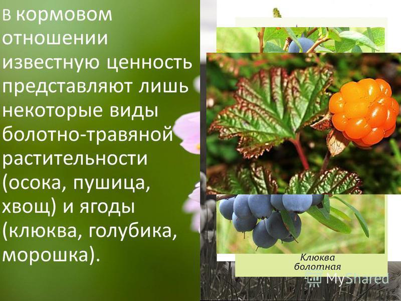 В кормовом отношении известную ценность представляют лишь некоторые виды болотно-травяной растительности (осока, пушица, хвощ) и ягоды (клюква, голубика, морошка).