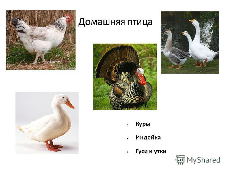Блюда из сельскохозяйственной птицы реферат 8411