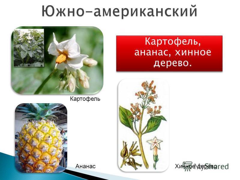 Картофель, ананас, хинное дерево. Картофель Ананас Хинное дерево