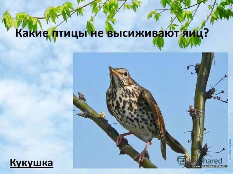 Какие птицы не высиживают яиц? Кукушка