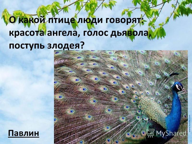 О какой птице люди говорят: красота ангела, голос дьявола, поступь злодея? Павлин
