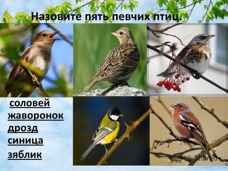 Назовите пять певчих птиц. соловей жаворонок дрозд синица зяблик