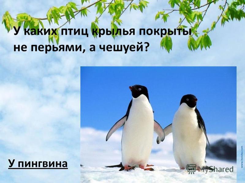 У каких птиц крылья покрыты не перьями, а чешуей? У пингвина