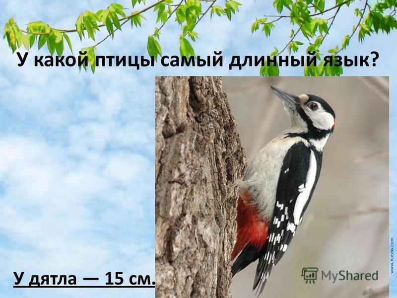 У какой птицы самый длинный язык? У дятла 15 см.