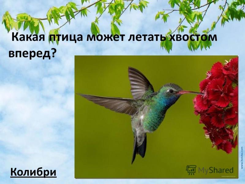 Какая птица может летать хвостом вперед? Колибри