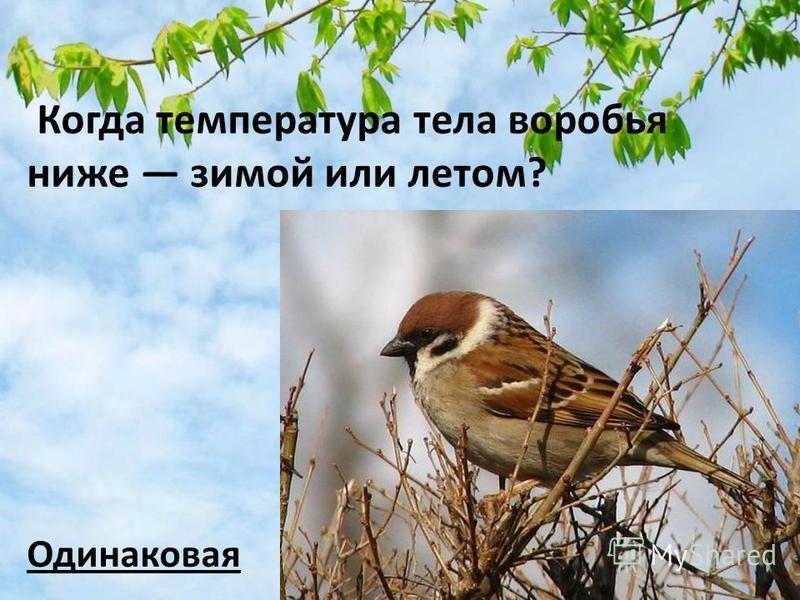 Когда температура тела воробья ниже зимой или летом? Одинаковая