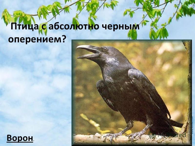 Птица с абсолютно черным оперением? Ворон.
