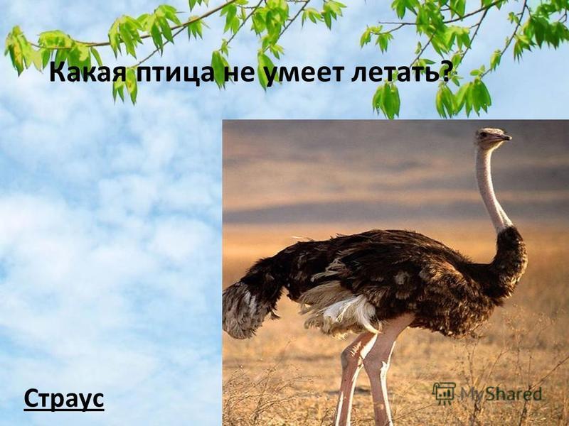 Какая птица не умеет летать? Страус