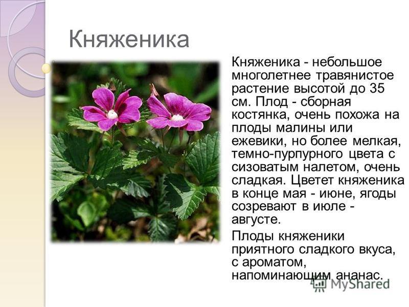 Княженика Княженика - небольшое многолетнее травянистое растение высотой до 35 см. Плод - сборная костянка, очень похожа на плоды малины или ежевики, но более мелкая, темно-пурпурного цвета с сизоватым налетом, очень сладкая. Цветет княженика в конце
