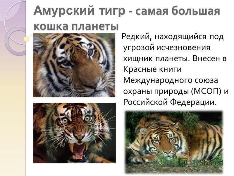 - самая большая кошка планеты Амурский тигр - самая большая кошка планеты Редкий, находящийся под угрозой исчезновения хищник планеты. Внесен в Красные книги Международного союза охраны природы ( МСОП ) и Российской Федерации.