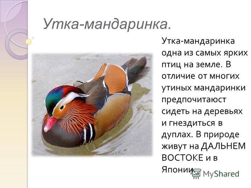 Утка-мандаринка. Утка - мандаринка одна из самых ярких птиц на земле. В отличие от многих утиных мандаринки предпочитаюст сидеть на деревьях и гнездиться в дуплах. В природе живут на ДАЛЬНЕМ ВОСТОКЕ и в Японии.