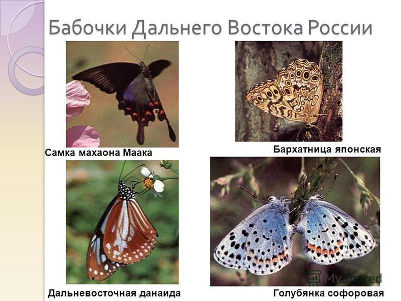 Бабочки Дальнего Востока России Самка махаона Маака Дальневосточная данаида Бархатница японская Голубянка софоровая
