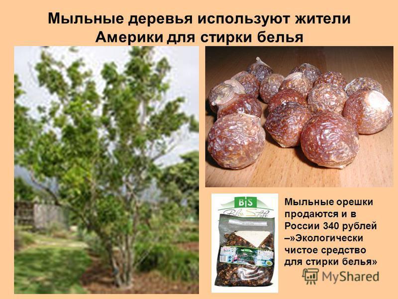 Мыльные деревья используют жители Америки для стирки белья Мыльные орешки продаются и в России 340 рублей –»Экологически чистое средство для стирки белья»