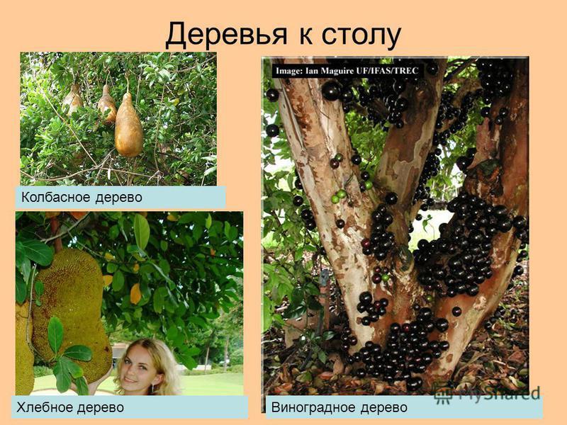 Деревья к столу Колбасное дерево Хлебное дерево Виноградное дерево