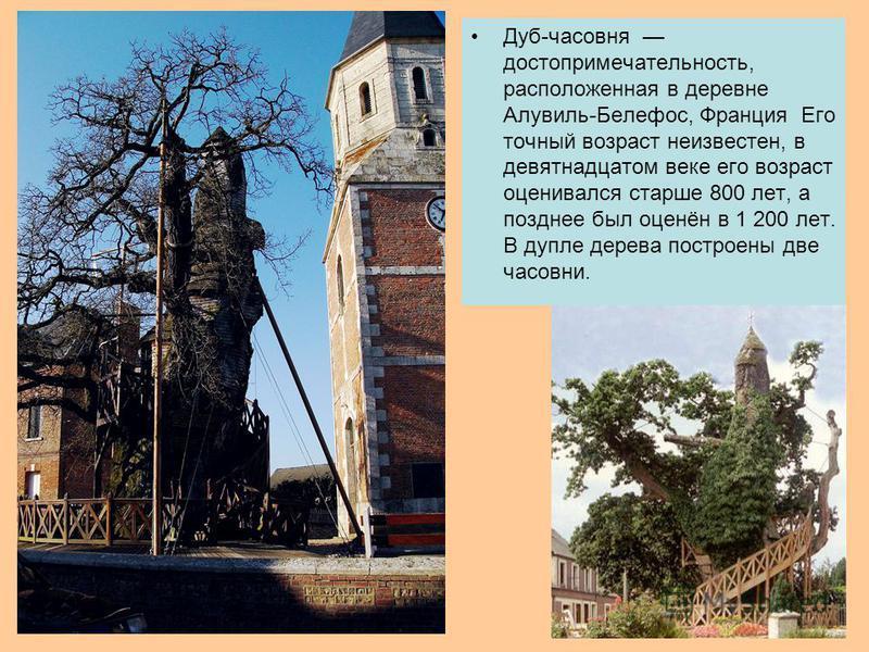 Дуб-часовня достопримечательность, расположенная в деревне Алувиль-Белефос, Франция Его точный возраст неизвестен, в девятнадцатом веке его возраст оценивался старше 800 лет, а позднее был оценён в 1 200 лет. В дупле дерева построены две часовни.