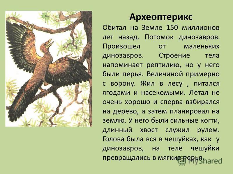 Археоптерикс Обитал на Земле 150 миллионов лет назад. Потомок динозавров. Произошел от маленьких динозавров. Строение тела напоминает рептилию, но у него были перья. Величиной примерно с ворону. Жил в лесу, питался ягодами и насекомыми. Летал не очен