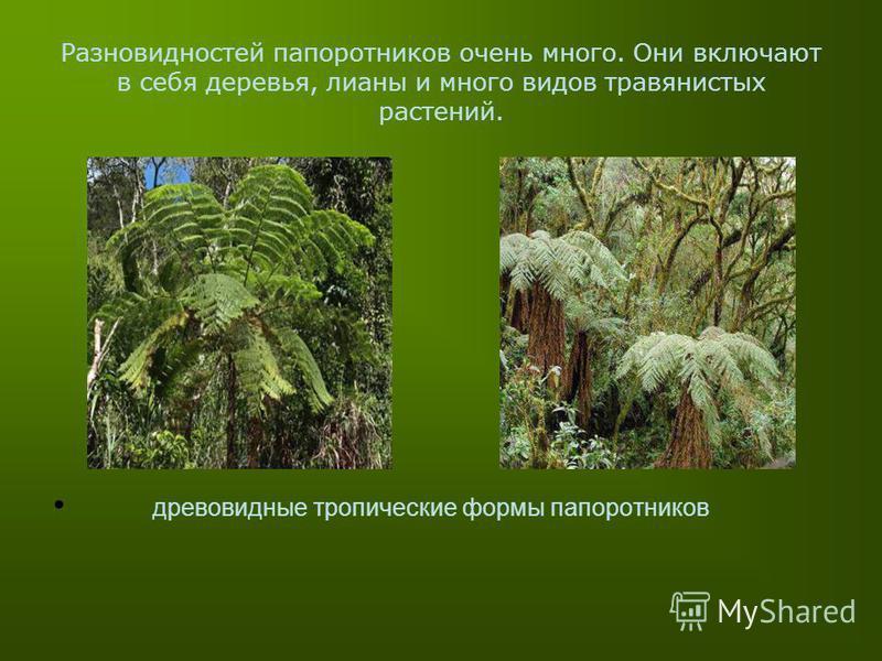 Разновидностей папоротников очень много. Они включают в себя деревья, лианы и много видов травянистых растений. древовидные тропические формы папоротников